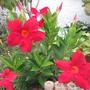Dipladenia Plant