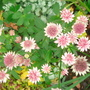 Astrantia - Nov 2007 (Astrantia major (Masterwort))