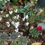 Cyclamen in a frog garden