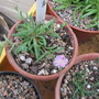 Delosperma Rosequartz (Delosperma)