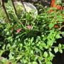Mini Fuchsia Oulton Travellers Rest (Encliandra)