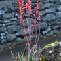 Aloe aculeata hybrid 2