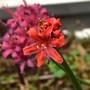 Nerine 'Fairy Dawn' (Nerine)