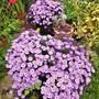 Asters in my garden