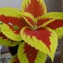 One of my Coleus cuttings.
