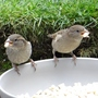 Lots of Sparrows about.