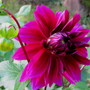 Dahlia! finally bloomed the last week of Sept...