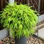 Potted bamboo  (Nandina domestica (Heavenly bamboo))