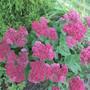 Sedum  the colour deepens as the fall progresses.