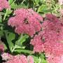 Bee favourite... sedum