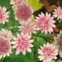 Astrantia flowerheads close-up (Astrantia major (Masterwort))