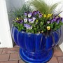 Planted up the blue pots