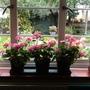 Pelargoniums.