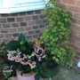 """Hydrangea and Acer """"Going Green'."""