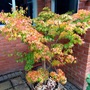 Acer 'Orange Dream'...just starting to colour up.25 years old.