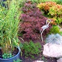 Acer Palmatum dissectum. Nandina domestica.Zebra grass.Hebe Margaret.