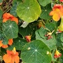 Nasturtiums on balcony 10th October 2021 001 (Tropaeolum majus (Compact Nasturtium))