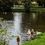 Couldn't resist taking these cygnets doing their early morning aerobics!