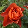 Rose 'Hot Chocolate ' still flowering.