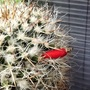 Mammillaria nejapensis with a berry