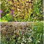 Agaratina (Eupatorium) altissima Chocolate close ups