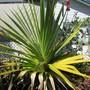 Pandanus of the exotic South Pacific. (Pandanus utilis (Common Screw Pine))