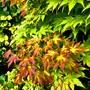 Autumn attraction. (Acer palmatum (Japanese maple))