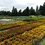Marigold trials at Wisley