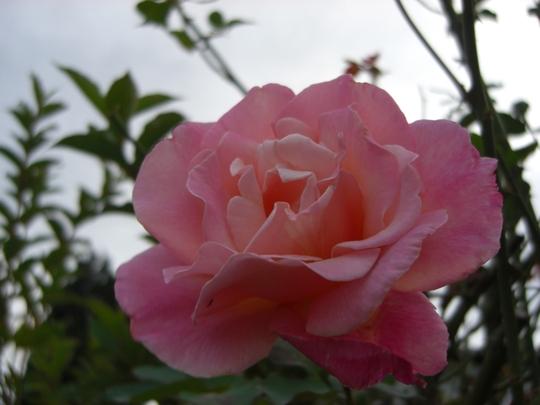 Rose in Dads garden