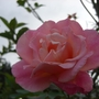 Rose in Dads garden
