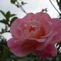 Rose_in_dads_garden