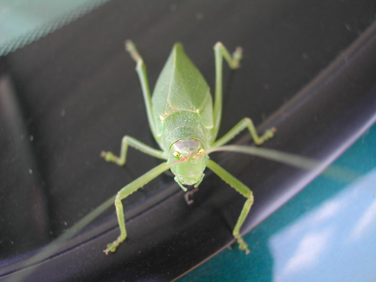 angel wing katydid