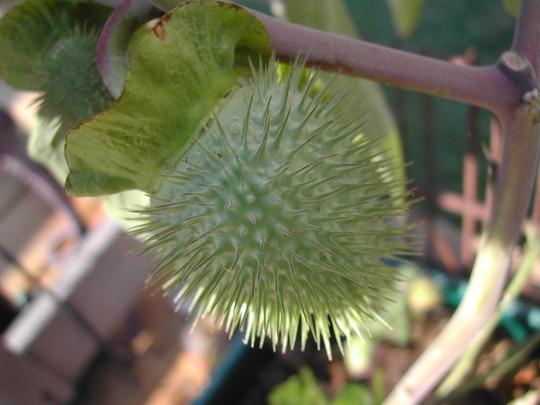 Moon Flower seed pod