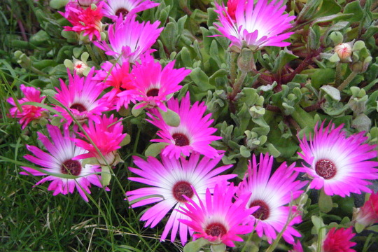 Daisy (Mesembryanthemum crystallinum (Buzotu))