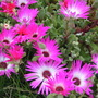 Daisy (Mesembryanthemum crystallinum (Buzotu))