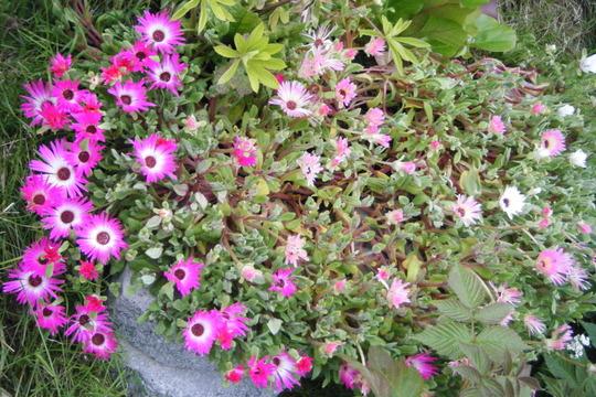 Dorotheanthus patch (Mesembryanthemum crystallinum (Buzotu))