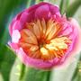 "Peony ""Bowl of Beauty"" (Paeonia lactiflora (Peony))"