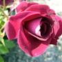 Rose_2_