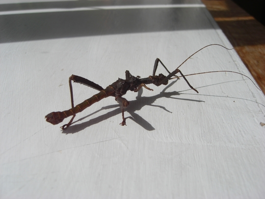Me and my shadow - Stick insect variety