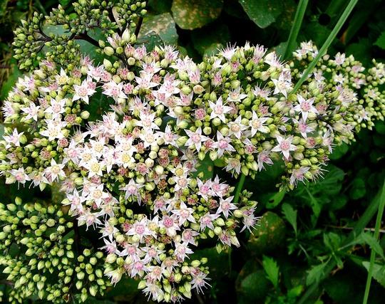 Stonecrop (Sedum spectabile (Ice plant))