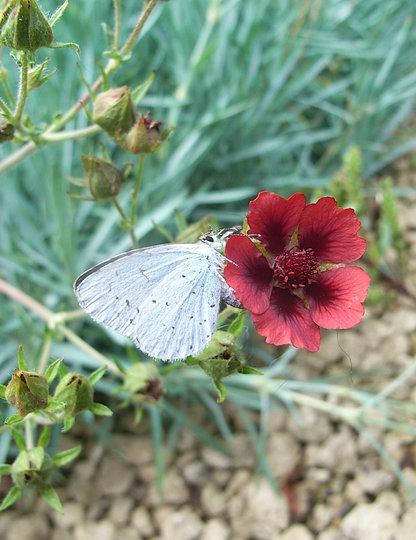 Potentilla atrosanguinea (Potentilla atrosanguinea)