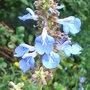 Salvia uliginosa