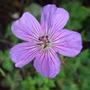 Geranium 'Buxton's Variety' (Geranium wallichianum)