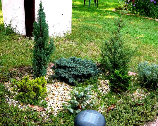 Miniature conifer bed next to round patio.