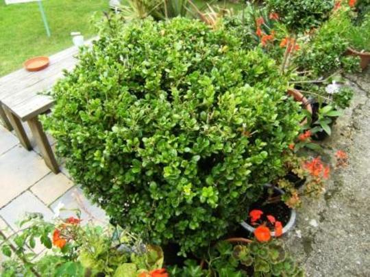 Buxus  (Buxus sempervirens (Common box))