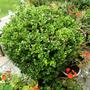Buxus  (Buxus sempervirens (Common box))