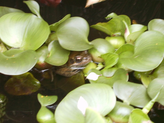 Frog1 (Eichhornia crassipes)