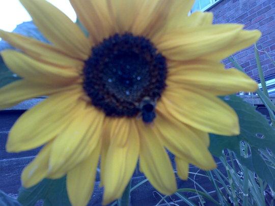 A visitor (Helianthus annuus (Sunflower))