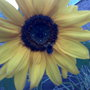 A visitor (Helianthus annuus (Sunflower))