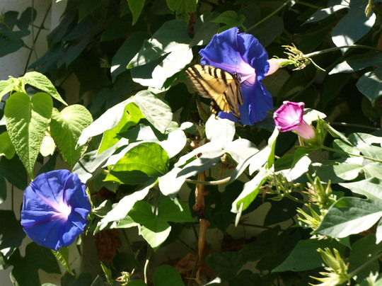 Butterfly on Morning Glory